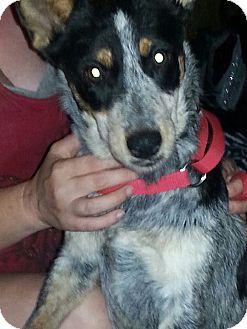Australian Cattle Dog Dog for adoption in Phoenix, Arizona - Keta