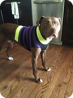 Boxer/Vizsla Mix Dog for adoption in Dallas, Texas - Emma
