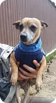 Chihuahua Mix Dog for adoption in Freeport, Maine - Rufus