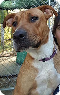 Shepherd (Unknown Type) Mix Dog for adoption in Walden, New York - Julie