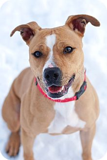 American Pit Bull Terrier Mix Dog for adoption in Elyria, Ohio - Katniss