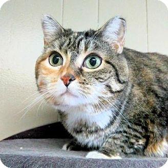 Domestic Shorthair Cat for adoption in Sauk Rapids, Minnesota - Dolly