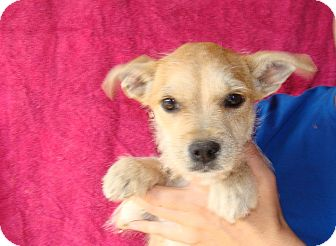 Cairn Terrier Mix Puppy for adoption in Oviedo, Florida - Marilyn