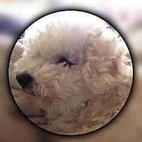 Poodle (Miniature)/Bichon Frise Mix Dog for adoption in San Diego, California - Flipy