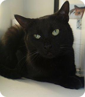 Domestic Shorthair Cat for adoption in Hamburg, New York - Dorothy