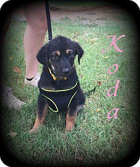German Shepherd Dog Mix Puppy for adoption in Denver, North Carolina - Koda
