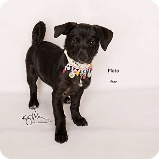 Beagle/Chihuahua Mix Puppy for adoption in Riverside, California - Pluto