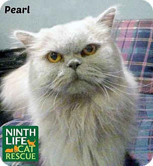 Persian Cat for adoption in Oakville, Ontario - Pearl