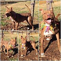 Adopt A Pet :: Brinley - Hicksville, NY
