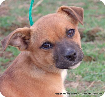 Chihuahua/Corgi Mix Puppy for adoption in parissipany, New Jersey - BAMBI~ADOPTED