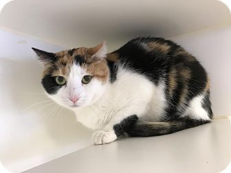 Domestic Shorthair Cat for adoption in Reisterstown, Maryland - Calico