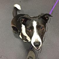 Adopt A Pet :: Razzie - Boulder, CO