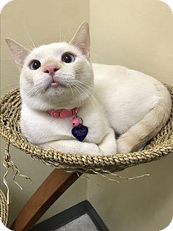 Siamese Cat for adoption in Pasadena, California - Casper