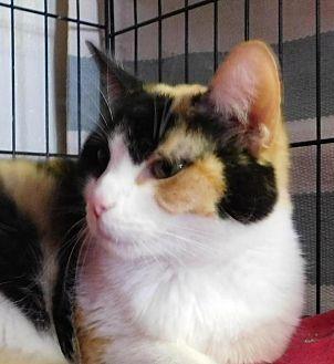 Domestic Shorthair Cat for adoption in Winston-Salem, North Carolina - Cali