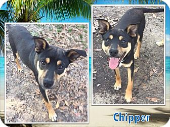 German Shepherd Dog/Hound (Unknown Type) Mix Dog for adoption in Ringwood, New Jersey - Chipper