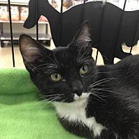Adopt A Pet :: Planet Neptune - 3 months - Tuxedo Darling - Hillside, IL