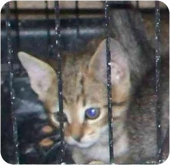 Domestic Shorthair Kitten for adoption in Lexington, Missouri - baby kittens, tabby, tan