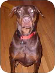 Doberman Pinscher Dog for adoption in Arlington, Virginia - Sampson