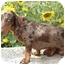Photo 1 - Dachshund Mix Puppy for adoption in Provo, Utah - COOPER
