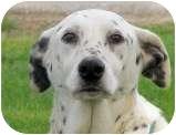 Dalmatian Dog for adoption in Turlock, California - Lady