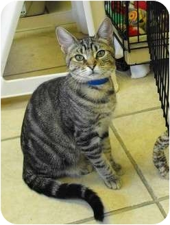 Domestic Shorthair Kitten for adoption in Byron Center, Michigan - Eeyore