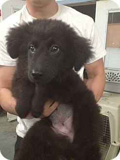 Labrador Retriever/Shepherd (Unknown Type) Mix Puppy for adoption in Lonedell, Missouri - Teacha