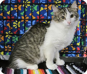 Domestic Mediumhair Kitten for adoption in Houston, Texas - Fern