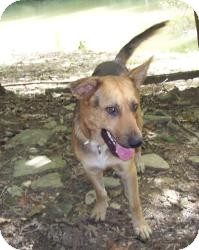 German Shepherd Dog Mix Dog for adoption in Louisville, Kentucky - Dan