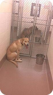 Labrador Retriever Mix Dog for adoption in Worcester, Massachusetts - Rosie