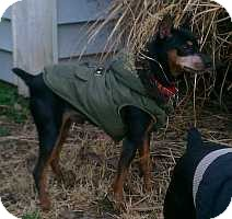 Miniature Pinscher Dog for adoption in Nashville, Tennessee - Roscoe 2
