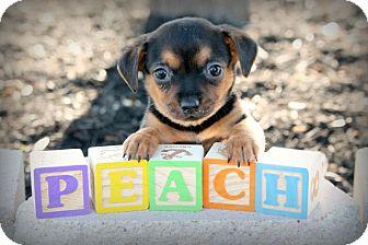 Dachshund Mix Puppy for adoption in Austin, Texas - Peach