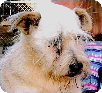 Schnauzer (Standard) Mix Dog for adoption in Spring Valley, California - CHAUNCY