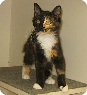 Calico Kitten for adoption in Pilot Point, Texas - SASSY