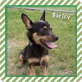 Chihuahua Mix Dog for adoption in Corpus Christi, Texas - Barley