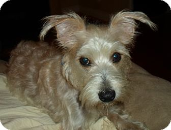 Silky Terrier/Schnauzer (Miniature) Mix Dog for adoption in Spring Valley, New York - Benjamin