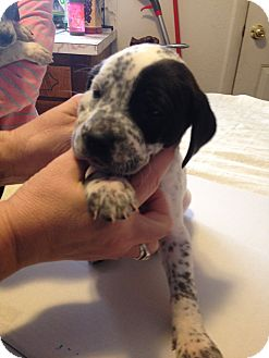 German Shorthaired Pointer/Boxer Mix Puppy for adoption in Ogden, Utah - Vicki Vale