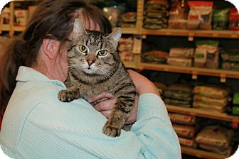 Domestic Shorthair Cat for adoption in Rochester, Minnesota - Fiona