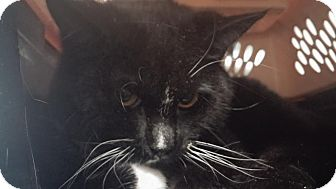 Domestic Shorthair Cat for adoption in Darlington, South Carolina - Minnie