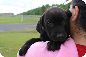 Labrador Retriever Puppy for adoption in Oakville, Connecticut - Missy