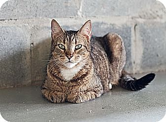 Domestic Shorthair Cat for adoption in Carencro, Louisiana - Mojave