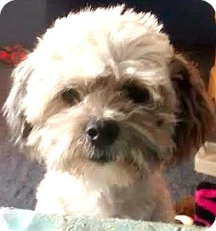 Havanese Mix Dog for adoption in Boulder, Colorado - Charlie-Adoption Pending