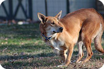Pharaoh Hound/German Shepherd Dog Mix Dog for adoption in Prince Frederick, Maryland - Polly