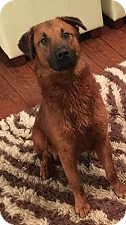 German Shepherd Dog/Chow Chow Mix Dog for adoption in Byhalia, Mississippi - Red
