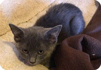 Domestic Shorthair Kitten for adoption in Toledo, Ohio - Reagan
