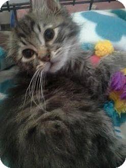 Domestic Mediumhair Kitten for adoption in Columbus, Ohio - Peeps