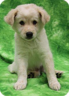 Golden Retriever/Corgi Mix Puppy for adoption in Allentown, Pennsylvania - Darby