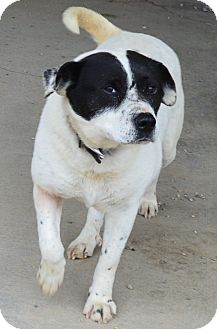 Australian Cattle Dog Mix Dog for adoption in Prole, Iowa - Dale