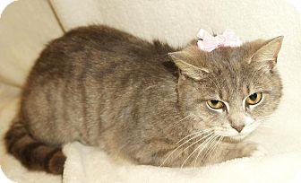 Domestic Shorthair Cat for adoption in Lexington, North Carolina - Primrose