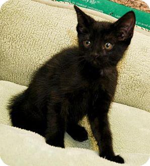 American Wirehair Kitten for adoption in Tallahassee, Florida - Zoe