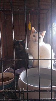 Turkish Van Cat for adoption in Ringgold, Georgia - Angelino